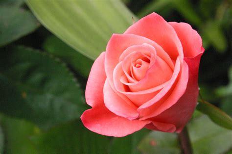 rose flower images flowers language flowers magazine
