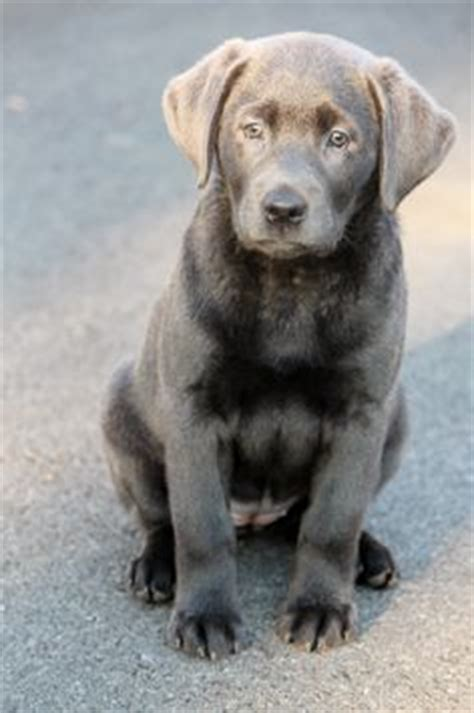 silver lab puppies az silver lab puppy for puppy fridays from underdog rescue of arizona