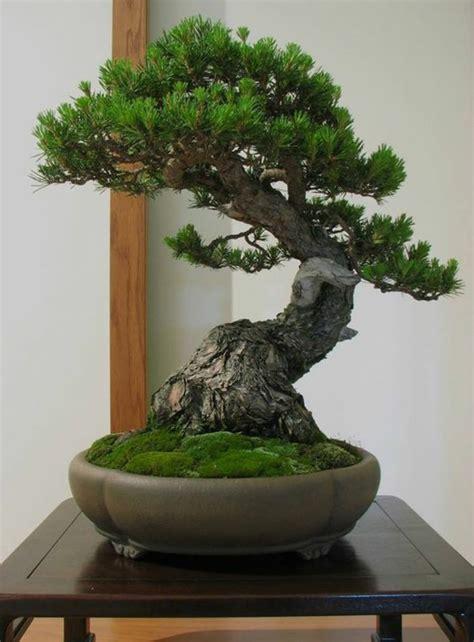 simple tips how to maintain bonsai plants mybktouch - Indoor Bonsai Kaufen