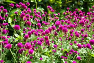 purple pink annual flowers picture jpg 2 comments hi res