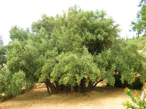 olive tree wallpaper 100 olive tree wallpaper file pikiwiki israel 8825