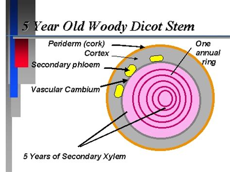 woody dicot stem cross section 5 year old woody dicot stem