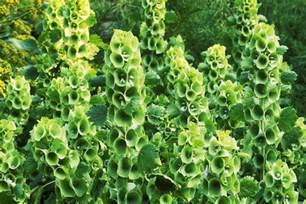 bells of ireland shell flower