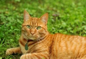 Orange Tabby Cats   LoveToKnow