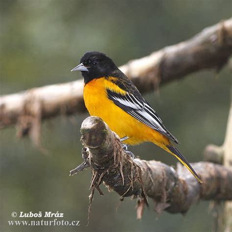 icterus galbula pictures northern oriole images nature