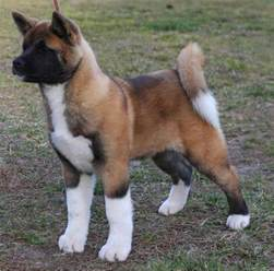 10 Surprising Facts About Akitas - American Kennel Club