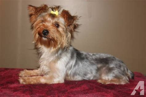 yorkie age roxie akc traditional age yorkie for sale in boonville