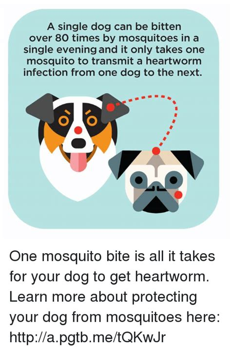 can puppies get heartworms a single can be bitten 80 times by mosquitoes in