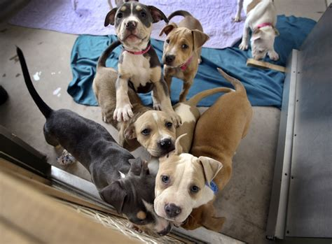 adoption minneapolis minneapolis pit bull adoptions startribune