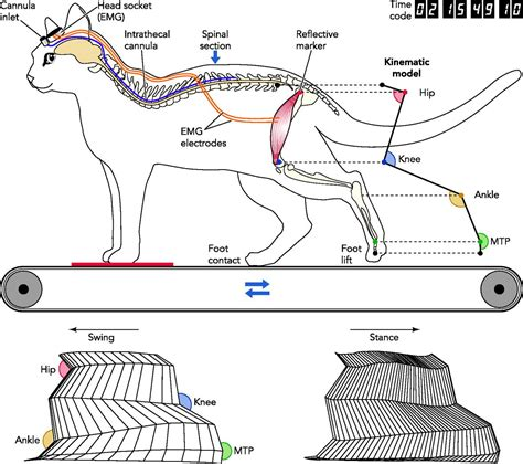 central pattern generator locomotion cat severed spinal cord imaging google search x