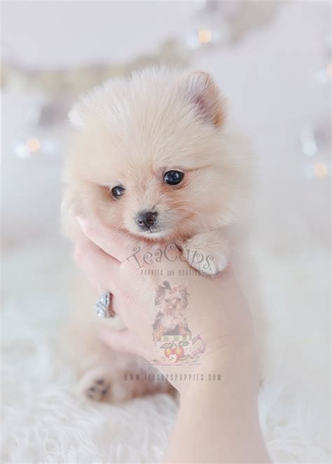 pomeranian puppies for sale florida pomeranian puppy teacups puppies boutique