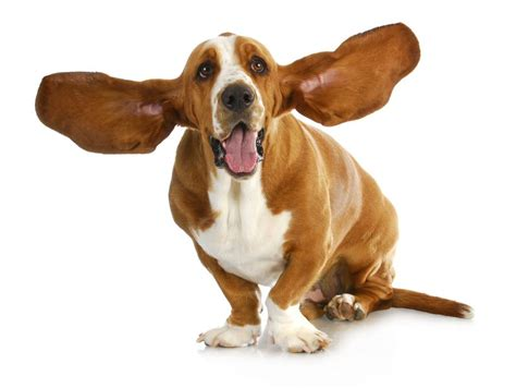 home remedies for dogs ears home remedies for ear infections in dogs