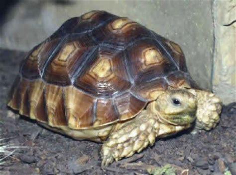 Yang Mini Filter Tortoise Kura Kura Tipe Yang Yp 001 spurred tortoise