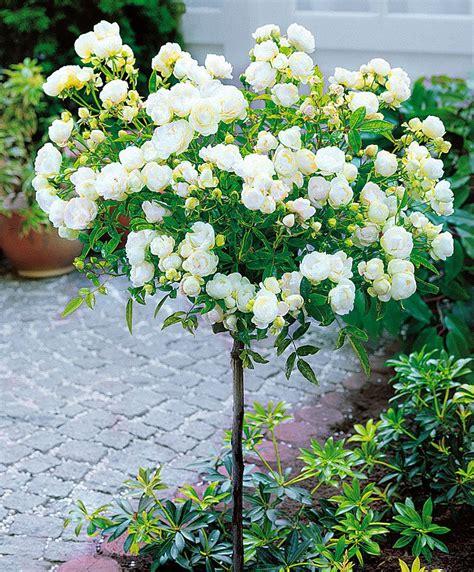 alberello da giardino ad alberello snow garden flowers