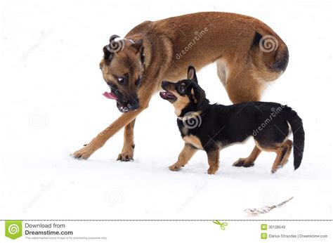 big friendly dogs two dogs big small royalty free stock images image 30128549