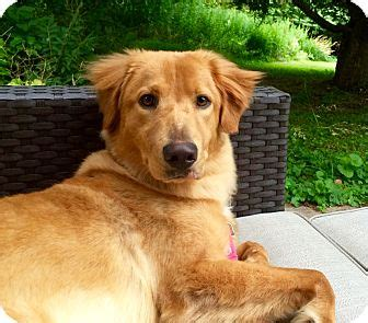 golden retriever new york adopted puppy nanuet ny golden retriever