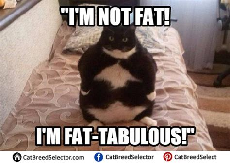Obese Meme - fat cat memes cat breed selector