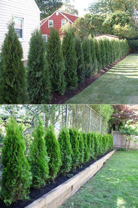 backyard shrubs privacy 25 beautiful arborvitae landscaping ideas on pinterest