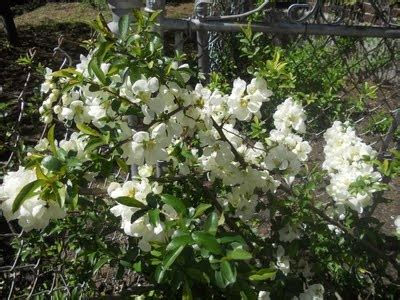 white flowering quince shrub el front yard pinterest