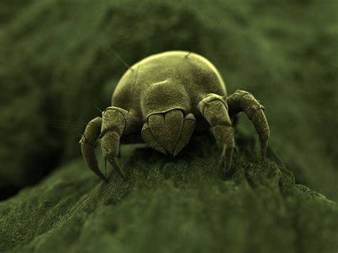 How Can Bed Bugs Live Without Air by Dust Mite Facts About Dust Mites Types Of Dust Mites