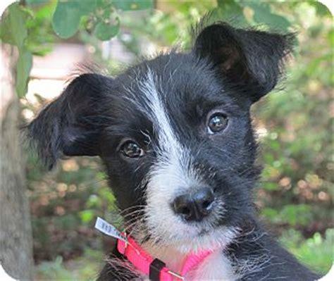 pug rescue scotland poppy adopted puppy lm plainfield ct scottie scottish terrier pug mix