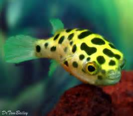 freshwater fish 25 best ideas about freshwater aquarium fish on pinterest