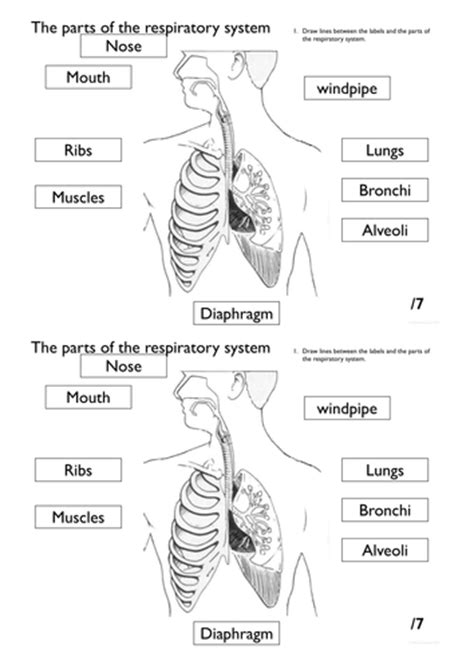 Respiratory System Printable Worksheets by The Respiratory System Presentation With Worksheets And