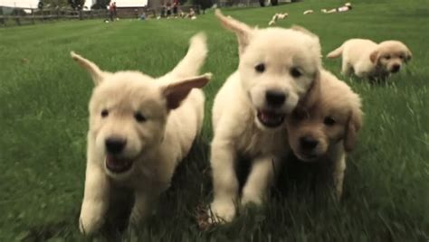 golden retriever attacks when golden retriever puppies attack with cuteness dogtime