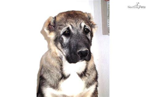 kaukasian dog with short hair caucasian mountain dog meet egor a cute caucasian
