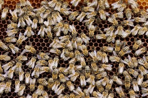 where to buy bees beekeepclub