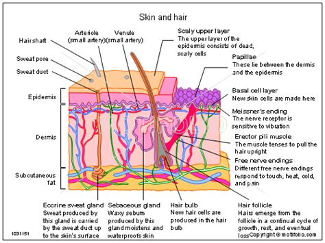 diagram of skin cross section dermis search esthetician tips