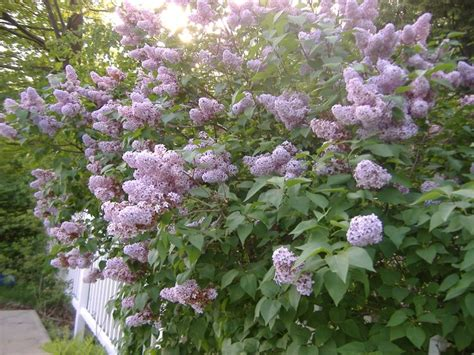 old fashion lilac sunny remember the old fashioned lilac bushes that produced thousands of