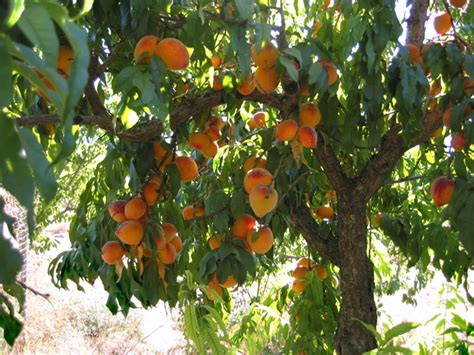 what is the fruit of the tree of fruit trees crib notes