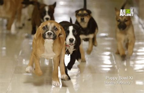 puppy bowl 2015 it s a preview of puppy bowl 2015 barkpost