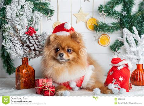 pomeranian clothing pomeranian in santa clothing on a background of decorations stock photo