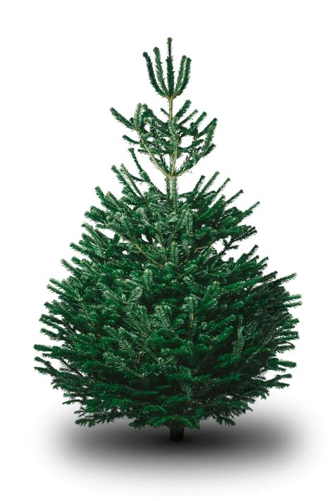 fir christmas tree ideas nordmann fir tree glee birmingham 2018 the uk s most valuable garden and outdoor