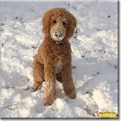 golden retriever mixed with poodle quot baxter the golden retriever poodle mix quot of the day december 07 2015