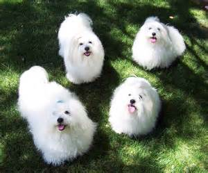 White Fluffy Absolutely Gorgeous Fluffy Breeds Breeds Puppies