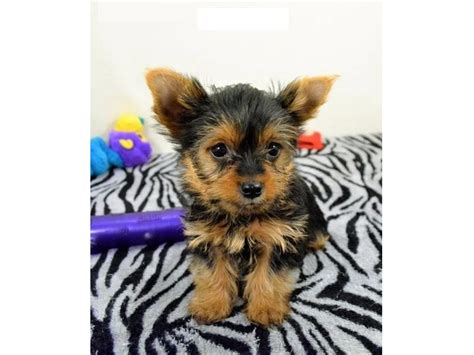 teacup yorkies for sale glasgow and adorable home trained yorkie puppies animals glasgow kentucky