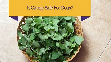 can dogs catnip is catnip bad for dogs smart owners