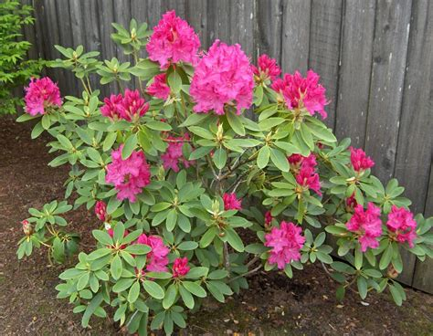 rhododendron when to plant 28 images free photo