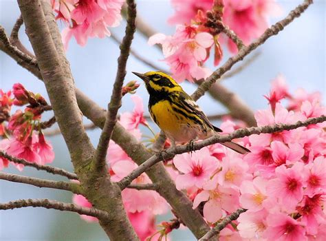 image gallery japanese cherry blossom birds