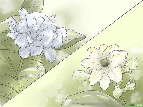 come coltivare il gelsomino in vaso come coltivare il gelsomino 9 passaggi illustrato