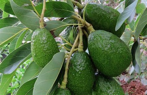 alberi da frutto in vaso coltivare piante da frutto guide per principianti