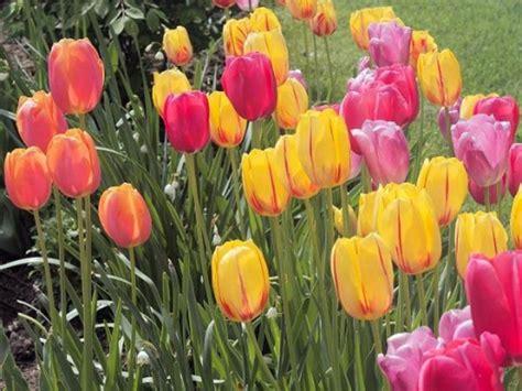 when to cut back tulips 187 denbok landscaping design