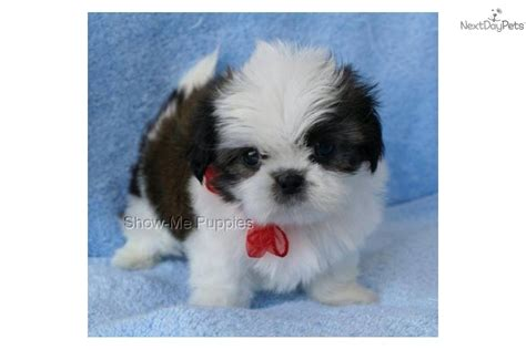 tiny shih tzu for sale shih tzu puppies for sale shih tzu puppies shih tzu breeders breeds picture