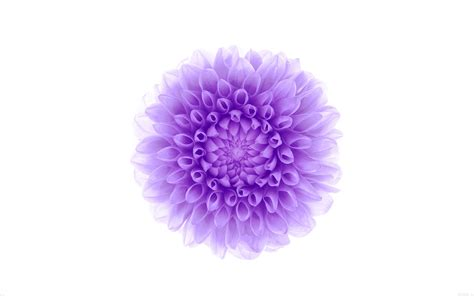 apple wallpaper white flower white background purple flower wallpaper 2880x1800