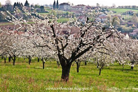 ciliegio in fiore pensieri vagabondi colline torinesi e ciliegi in fiore