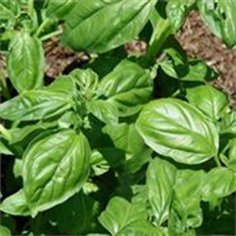 coltivazione basilico in vaso basilico aromatiche come coltivare il basilico