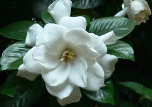 gardenia flowers top 10 most popular flowers flowers gardening